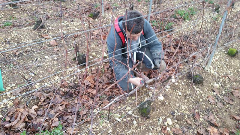 photo de taille dans les vignes domaine roland van hecke vigne et prétaille de la vigne