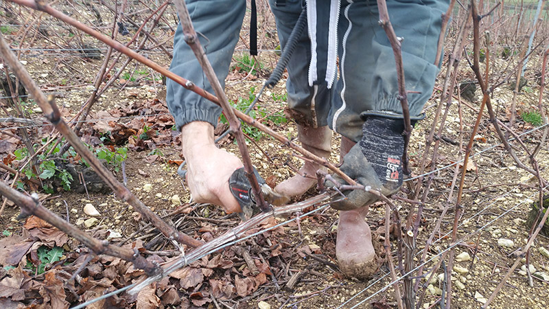 photo de taille dans les vignes domaine roland van hecke cremant et ratafia