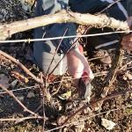 photo de taille dans les vignes domaine roland van hecke