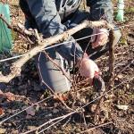 photo de taille dans les vignes domaine roland van hecke crémant de bourgogne