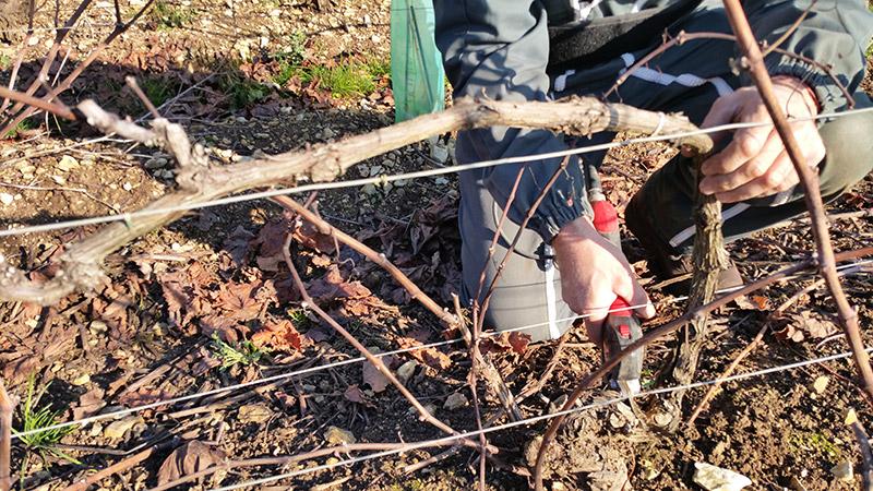 photo de taille dans les vignes domaine roland van hecke vins de bourgogne